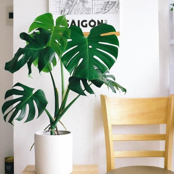 The Swiss Cheese Plant and 29 Other Ultra Easy Houseplants
