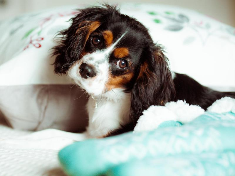 The Cavalier King Charles spaniel is loving and gentle.