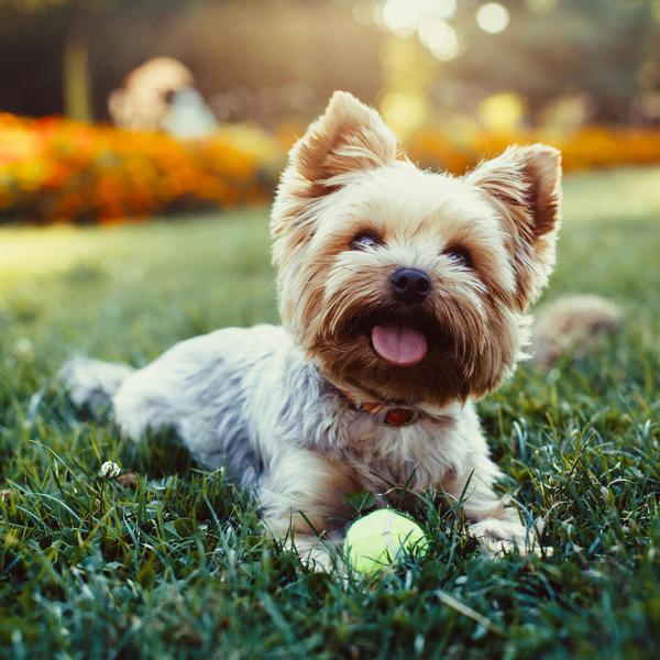 Greatest Dog Breeds for Mental Health