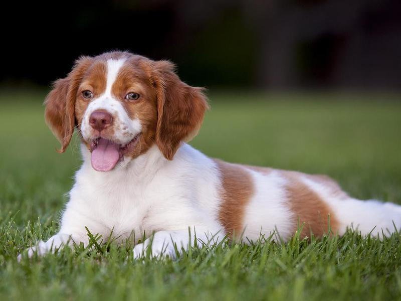 Friendliest Dog Breeds For Your Family