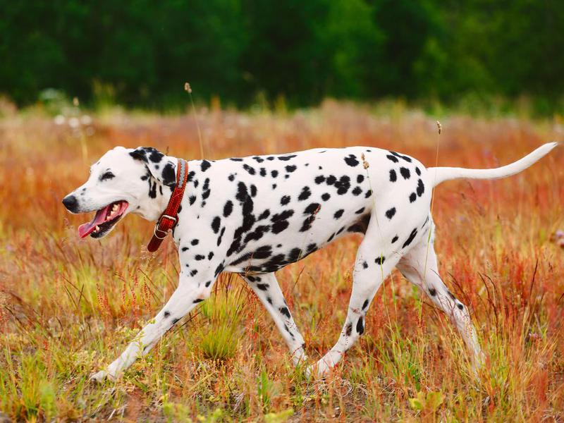 Bow Wow! The Longest Living Dog Breeds   FamilyMinded