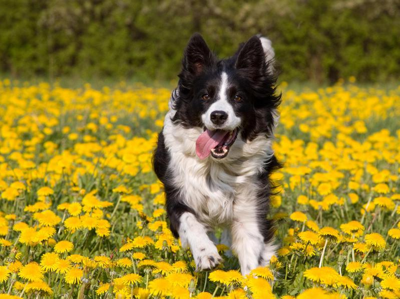 Border collies make loyal and friendly companions.