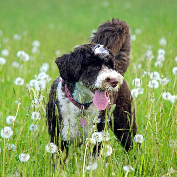 Dogs That Don't Shed: 50 Best Hypoallergenic Dog Breeds for Families