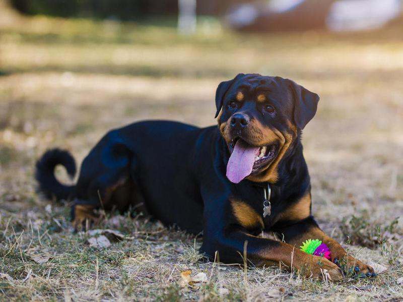 Rotties are often misunderstood, but they are quite friendly and patient.