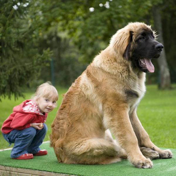 Large Dog Breeds That Make Excellent Companions